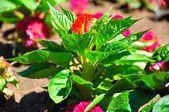 Flor roja en chernomorets. — Foto de Stock