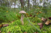 Boletus scaber (Leccinum scabrum) on the marsh hillock — Stock Photo