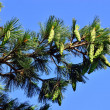 Pinus peuce (Macedonian pine) against the blue sky — Стоковая фотография