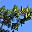 Pinus peuce (Macedonian pine) against the blue sky — Photo