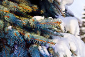 Paws blue spruce (lat. Picea pungens) in the snow — Stock Photo