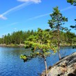 Karelian pine. Lake Engozero, North Karelia, Russia — Stock Photo