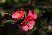 Chaenomeles japonica — Foto Stock