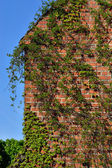 Common ivy (Hedera helix) on a ancient  brick wall — Stock Photo