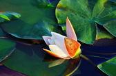 Nymphaea alba (water lily) — Stok fotoğraf