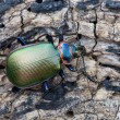 Ground beetle — Stock Photo