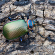 Ground beetle - Stock Photo