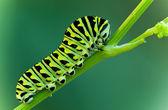 アゲハチョウの幼虫 — ストック写真
