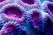 Brain coral — Stock Photo