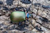 Ground beetle — Stock Photo