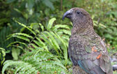 Kea in new Zealand — Stock Photo