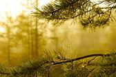 Mgliste rano żółty w bagnie — Zdjęcie stockowe