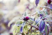 冷凍ベリー — ストック写真