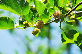 Mulberry fruit — Stock Photo