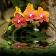 Elegant Orchids — Stock Photo