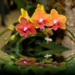 Elegant Orchids - Stock Photo