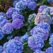 Blue and Purple Hydrangeas — Stock Photo