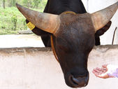 Mithun, reared as meat animal among the tribal people of North-Eastern India1 — Stock Photo