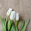 Stock Photo: White tulips on hessian