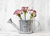 Pink carnation flowers in silver watering can — Stock Photo