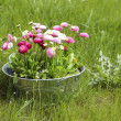 Big silver bucket full of daisy pink, red and white daisy flower — Stok fotoğraf