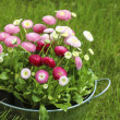 Big silver bucket full of daisy pink, red and white daisy flower — Stock Photo