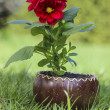 Red dahlia flower in wooden pot on fresh green grass in the gard - Stock Photo