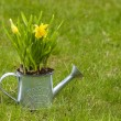 Daffodils in silver watering can on fresh green grass — Stock Photo
