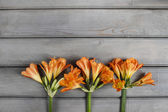 Orange clivia flower on wooden background. Copy space. — Stock Photo