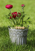Persian buttercup flowers (ranunculus) in grey pot on fresh gree — Stock Photo