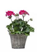 Pelargonium flower in grey basket, isolated on white background — Stock Photo