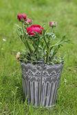 ペルシャ キンポウゲの花 (ranunculus) の上に立って、灰色の鍋で — ストック写真