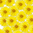 Fresh yellow flower (Doronicum orientale) background, optimism a — Stock Photo