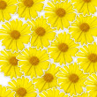 Fresh yellow flower (Doronicum orientale) background, optimism a — Stock Photo #24947077