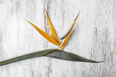 Bird of paradise flower on white wooden background. Copy space. — Stock Photo
