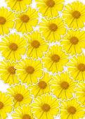 Fresh yellow flower (Doronicum orientale) background, optimism a — Stock Photo