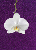 White orchid on purple glitter background, copy space. — Foto de Stock