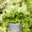 Basil plant in wicker basket on wooden table — Stock Photo
