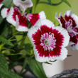 A popular fragrant biennial garden plant, Sweet William — Foto de Stock