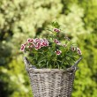 A popular fragrant biennial garden plant, Sweet William — Stock Photo