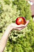 在美丽的手上绿色花园 backgrou 红色成熟单苹果 — 图库照片