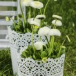 Fresh white daisies in the garden on sunny spring day. — Stock Photo