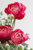 Persian buttercup flowers (ranunculus) isolated on white backgro — Foto de Stock