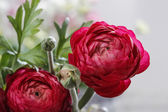 Persian buttercup flowers (ranunculus) isolated on white backgro — Stock Photo