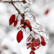 Berberis branch under heavy snow and ice. Selective focus — Stock Photo