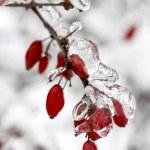 Berberis gren under tung snö och is. selektiv inriktning — Stockfoto #26747615