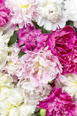 Peony pattern — Stock Photo