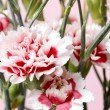 Red and white carnation flower  — Stock Photo