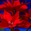 Poinsettia flower on christmas evening, selective focus — Stock Photo