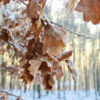 Oak leaves covered with frost. Morning mist in winter forest — Stock Photo